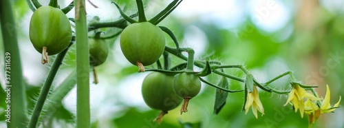 Unripe green tomatoes on a branch growing in the garden Fotobehang