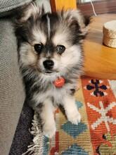 Cute Fluffy Pomchi Puppy Portrait