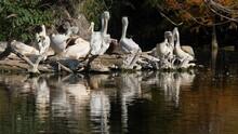 Great White Pelicans (Pelecanu...
