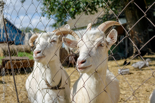 Fototapeta A pair of white horned goats with a beard, side view