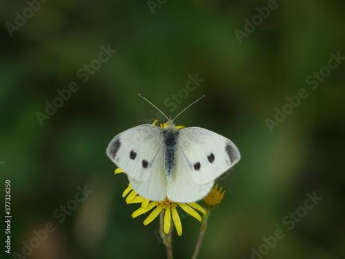 Fototapeta female small white butterfly (Pieris rapae) obraz