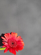 Red Gerbera On A Black Background. Red Gerber Daisy.