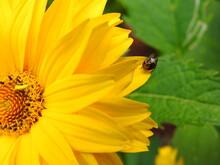 A Beetle On A Rudbeckia