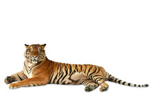Big Bengal Tiger Crouching And Looking To Camera Isolated On White Background.