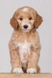canvas print picture - Goldendoodle Puppy