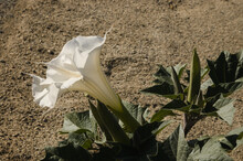 Datura Flower, Big Beautiful White Trumpet Shaped  Flowering Gem Of The Desert,  Joshua Tree National Park.  Creating Beauty In The Harsh Landscape, Is Nature's Way Of Artistically Adding  Color Depth