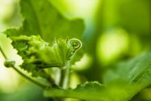 Closeup Butternut Squash Tendrils Curled Up In Leaf