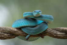 Trimeurus Insularis Blue Is A ...