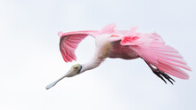 Close Up Of Roseate Spoonbill Flying Mid Air