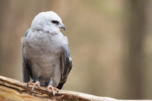 A Mississippi Kite Perched On  Log