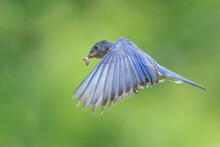 An Eastern Bluebird In Flight