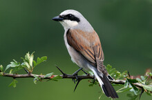 Red-backed Shrike Male, Lanius Collurio