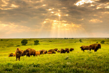 These Impressive American Bison Wander The Plains Of The Kansas Maxwell Prairie Preserve