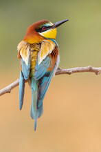 Close Up Of European Bee Eater Perching On Branch