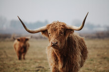 Scottish Highland Cow In Winter Pasture