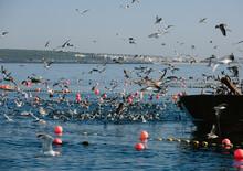 Sea Birds Feeding Around Fishing Boat