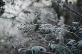 Frozen Blackberries and Brambles