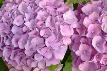 Floral Background Of Pink Hydr...
