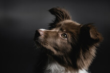 Little Border Collie Puppy Por...