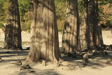 Swamp Cypress Trees In A Dried...