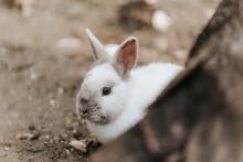 Cute Fluffy White Rabbit Peeking Round A Tree