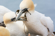 Mating Northern Gannet Building Nest