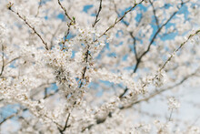 Blooming Cherry Blossom Tree With Pollinator