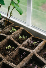 Green And Purple Basil Seedlings Sprouting Indoors By A Window.