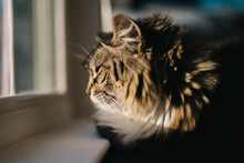 Close Up Portrait Of A Moody Maine Coon Cat