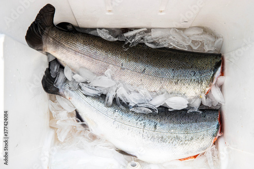 Fotografía Two fresh caught Coho salmon caught and cleaned with heads cut off in a cooler w