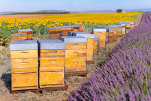 Beehives In Lavender And Sunflowers Fields