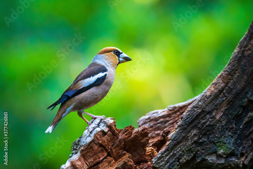Obraz na plátně Closeup of a male hawfinch Coccothraustes coccothraustes songbird perched in a forest