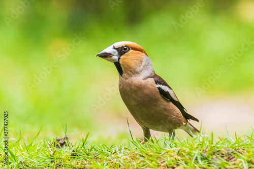 Fotografie, Obraz Closeup of a male hawfinch Coccothraustes coccothraustes songbird perched in a forest