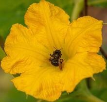 Black California Carpenter Bee (Xylocopa Californica) On A Squash Blossom