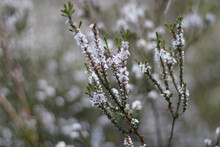 Close Up Of Plant With Tiny White Flowers Blooming