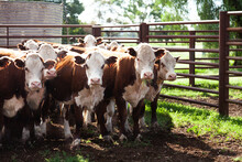 Herd Of Cattle In Stock Yard O...