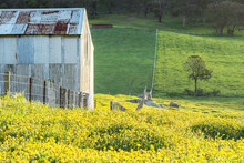 An Old Tin Shed Sits Along A Fenceline Amongst A Paddock Of Cape Weed Daisies