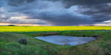 Rain Falling From Storm Clouds Over A Crop Of Canola On Farmland