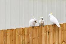 Three Sulphur Crested Cockatoo...