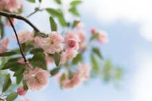 Pink Crab Apple Blossom Agains...