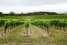 Looking Along Rows Of Grapevines
