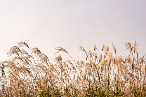 A quiet reed field without anyone Canvas