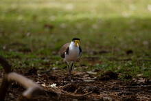 Australian Masked Lapwing -plover-walking On The Ground
