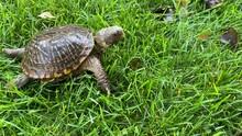 Western Box Turtle Crossing Fr...
