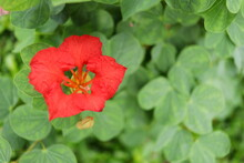Red Flower Of Red Bauhinia Or Nasturtium Bauhinia And Blur Green Leaves Background. Popular Name In Africa Is Pride Of De Kaap. Another Name Is Red Orchid Bush, African Plume.