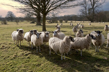 Sheep In Field In Countryside ...
