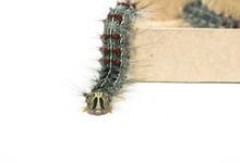 Gypsy Moth Caterpillar (Lymant...