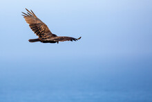 Turkey Vulture Soaring Over Th...