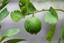 Fresh Green Lemons Attached To...