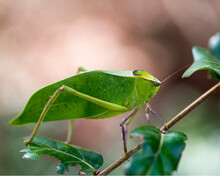 Katydid Insect Stock Photos. Katydid Insect On A Branch Tree With A Blur Background In Its Habitat And Environment. Image. Picture. Portrait.